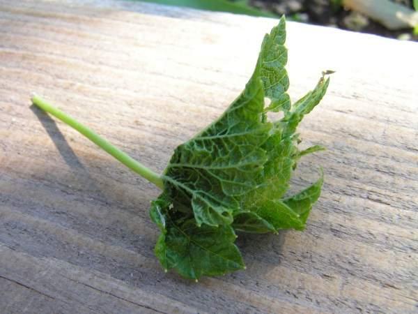 Черные, зеленые гусеницы на крыжовнике: как бороться, чем обработать кусты, как избавиться, чем опрыскать в период плодоношения