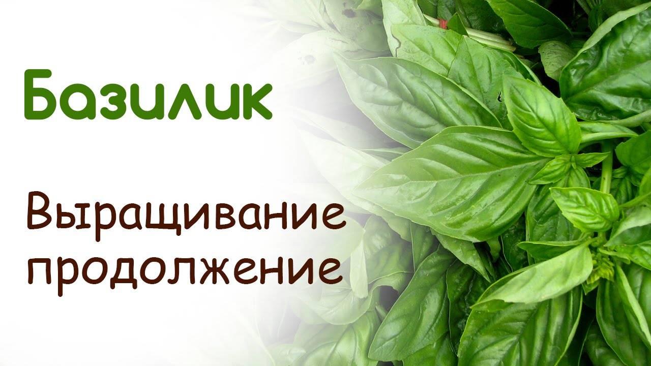 Базилик: выращивание из семян в открытом грунте и на подоконнике