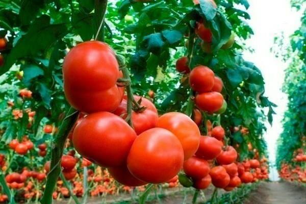 Оригинальный томат махитос f1: описание и отзывы