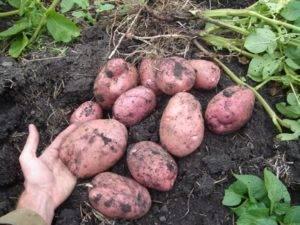 """Картофель """"крепыш"""": описание сорта, фото и главные характеристики"""