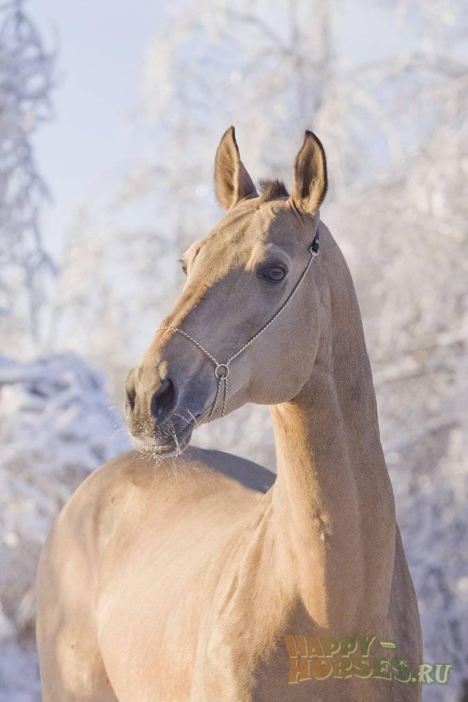 Особенности ахалтекинских лошадей, их разведение и содержание