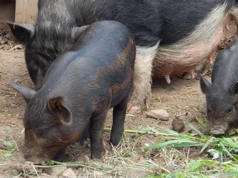 Полудикая порода свиней кармал: описание и преимущества