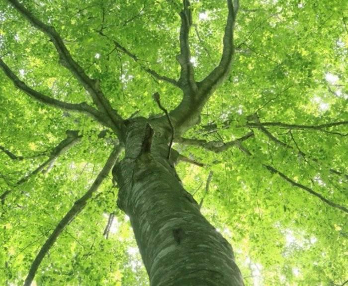 Бук лесной, бук европейский, fágus sylvática