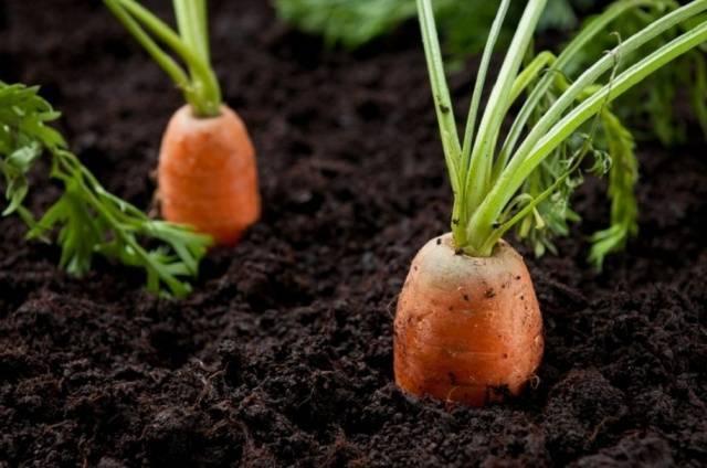 Сорта моркови с фото и описанием. урожайные сорта моркови