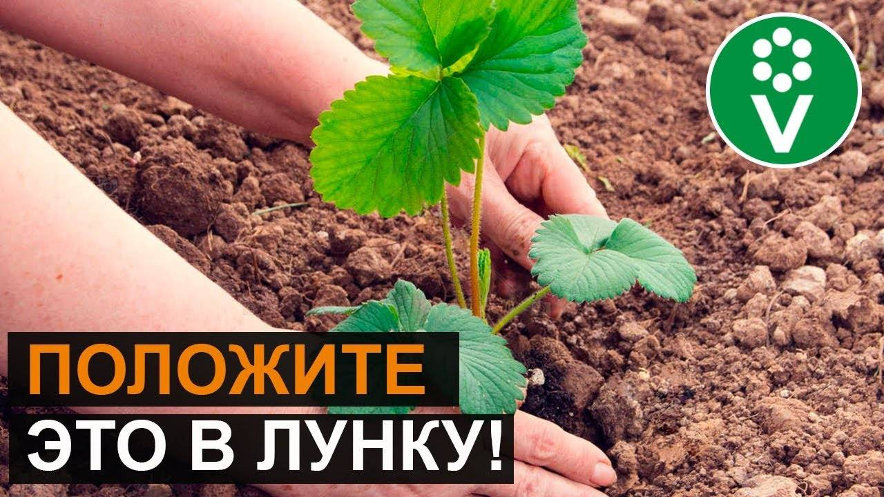 Правила посадки саженцев жимолости съедобной весной и осенью