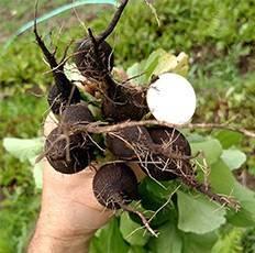 Сроки посадки черной редьки и особенности ее выращивания