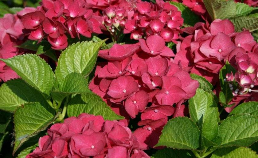 О гортензии хот ред (hot red) — сортовые особенности, как посадить и ухаживать
