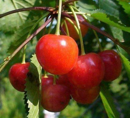 Черешня розовый жемчуг — описание сорта, фото, отзывы садоводов