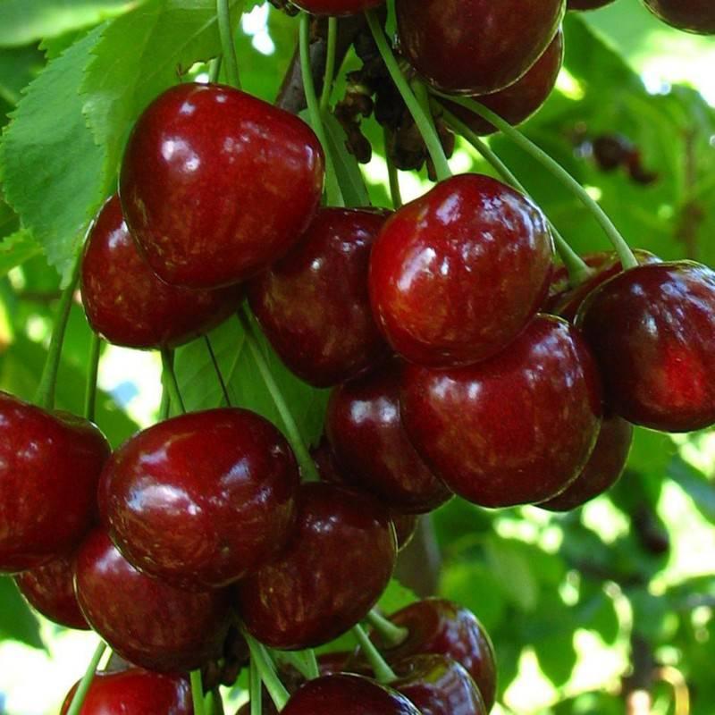 Особенности черешни сорта регина