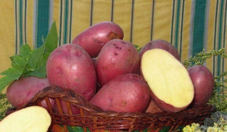 Сорт картофеля «колобок»: характеристики неприхотливого корнеплода