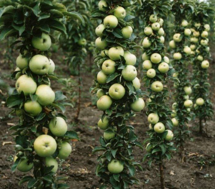 Сорта колоновидной яблони для подмосковья