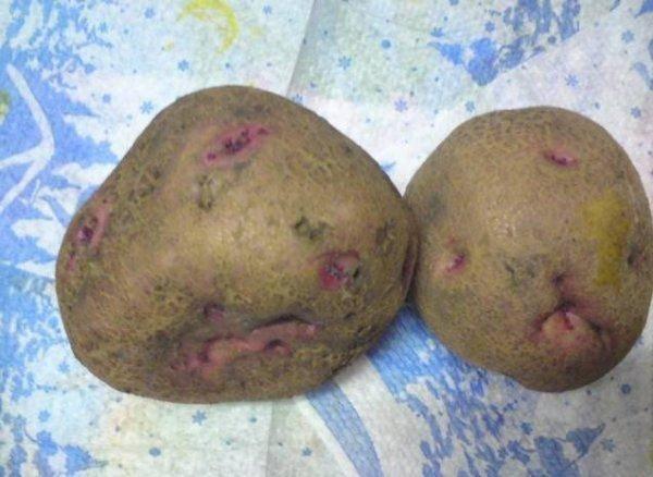 Сорта картофеля: названия, описание и фото разновидностей