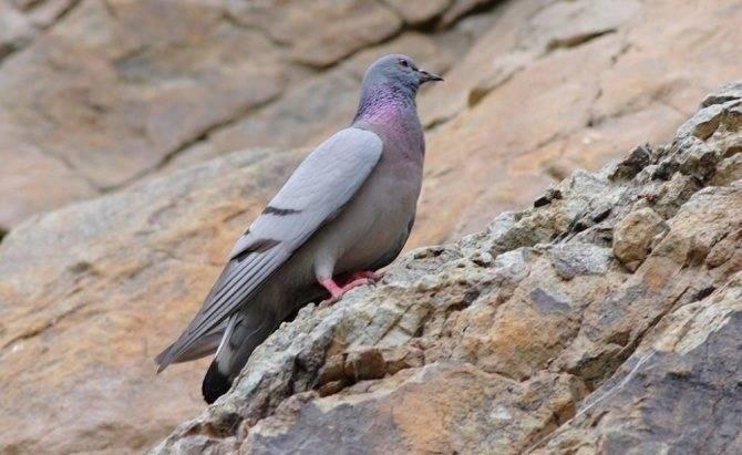 Жемчужина домашнего подворья - венценосный голубь