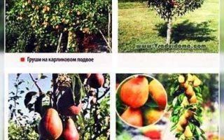 Груша колоновидная восторг — описание сорта, фото, отзывы садоводов