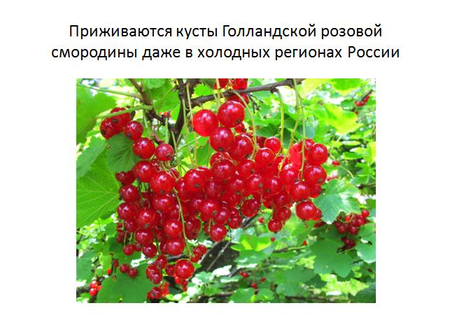 Красная смородина ненаглядная