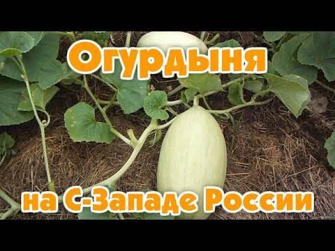 Характеристика огурдыни — выращивание овоща в открытом грунте