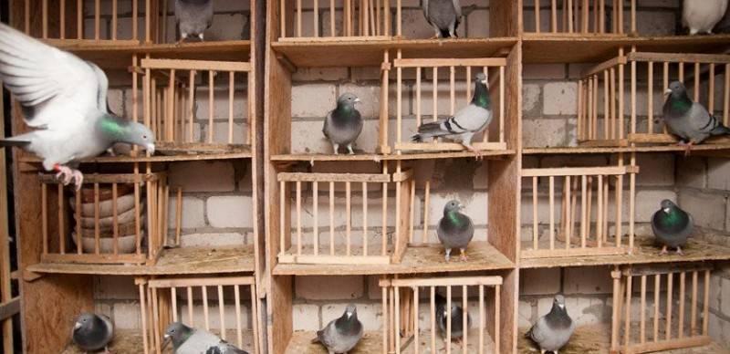Как кормить птенца голубя?
