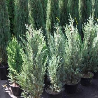 Можжевельник чешуйчатый мейери (juniperus squamata meyeri)