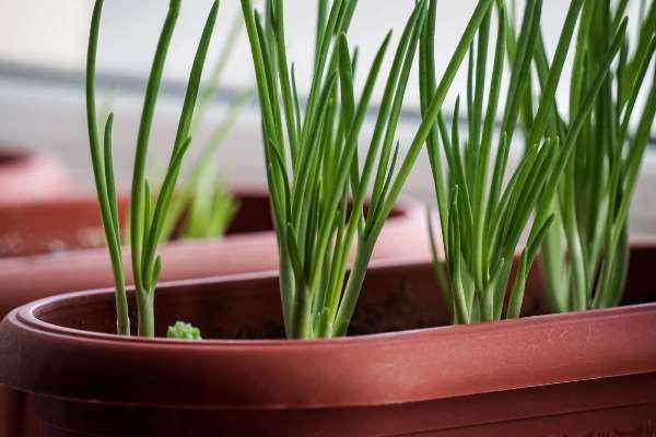 Лук батун выращивание из семян на подоконнике