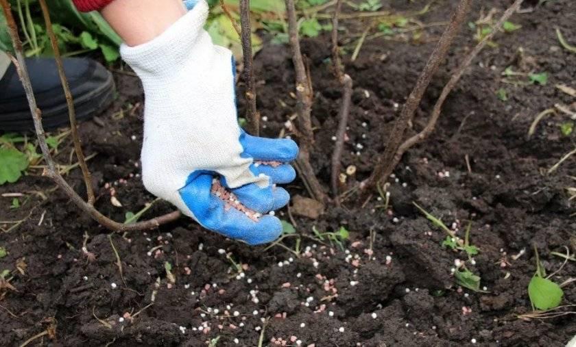 Чем подкормить крыжовник весной. чем подкормить кусты смородины и крыжовника весной