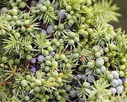 Ягоды можжевельника: лечебные свойства и противопоказания, можно ли есть