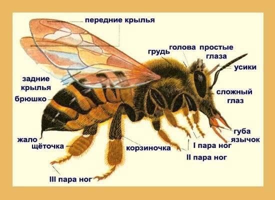 Может ли укус пчелы стать причиной аллергической реакции?