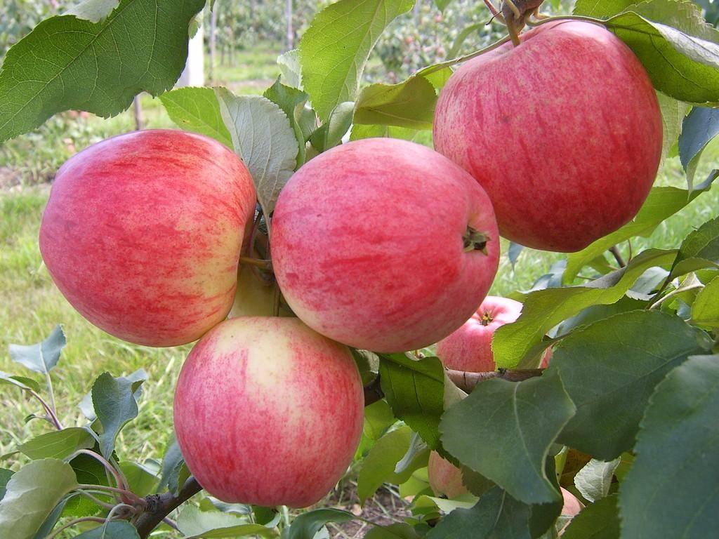 Зимостойкая яблоня уральский сувенир для северного сада