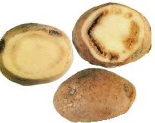 Разновидности болезней картофеля