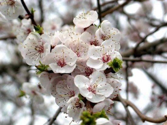 Почему не цветет и не плодоносит дерево абрикоса