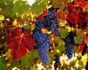 Сроки и основные правила пересадки винограда осенью