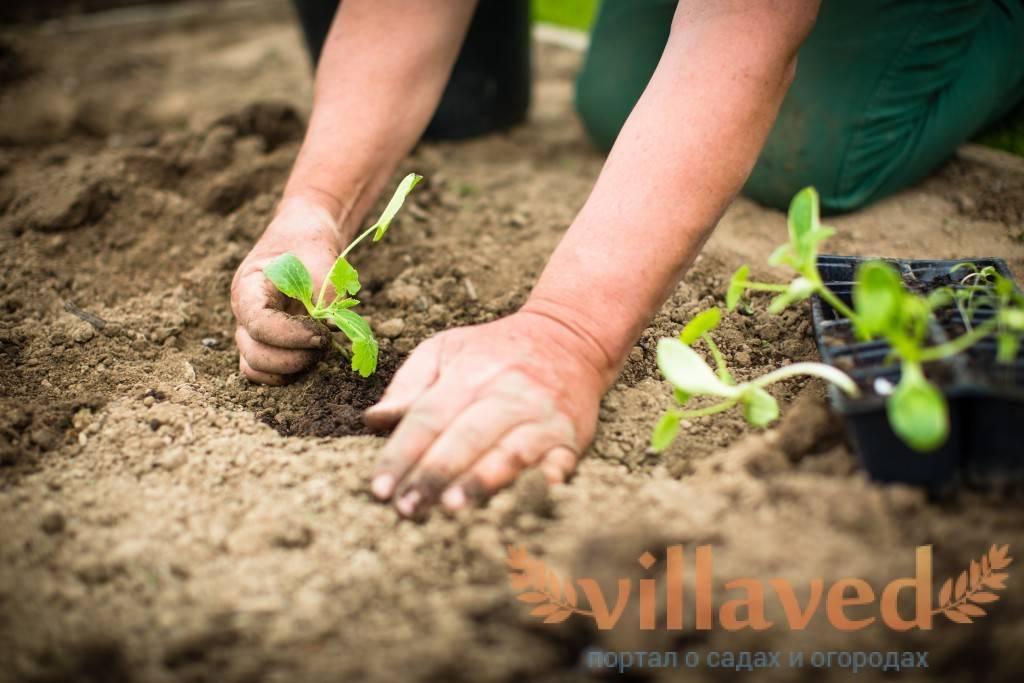 Капуста белокочанная на рассаду: сроки посева и условия выращивания