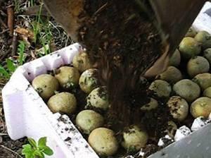 Обрывать ли ростки у картофеля перед посадкой