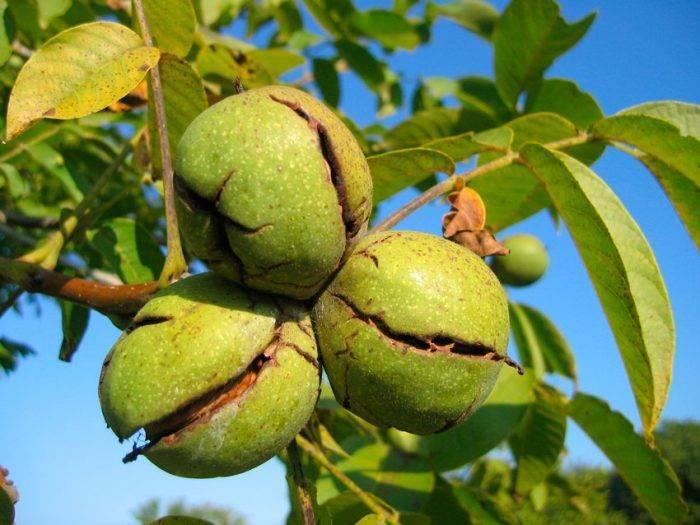 Грецкий орех: выращивание и уход в подмосковье и средней полосе россии