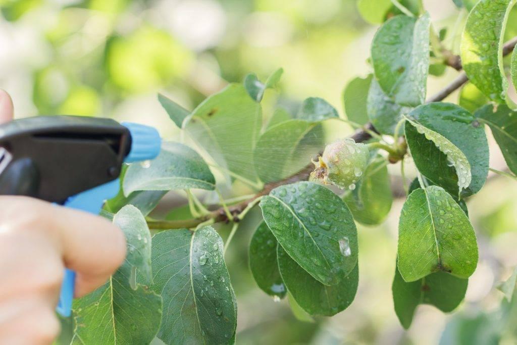 Чернеют листья на груше: причины, что делать, как лечить - etocvetochki.com