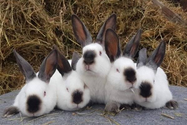 Разведение и содержание калифорнийских кроликов