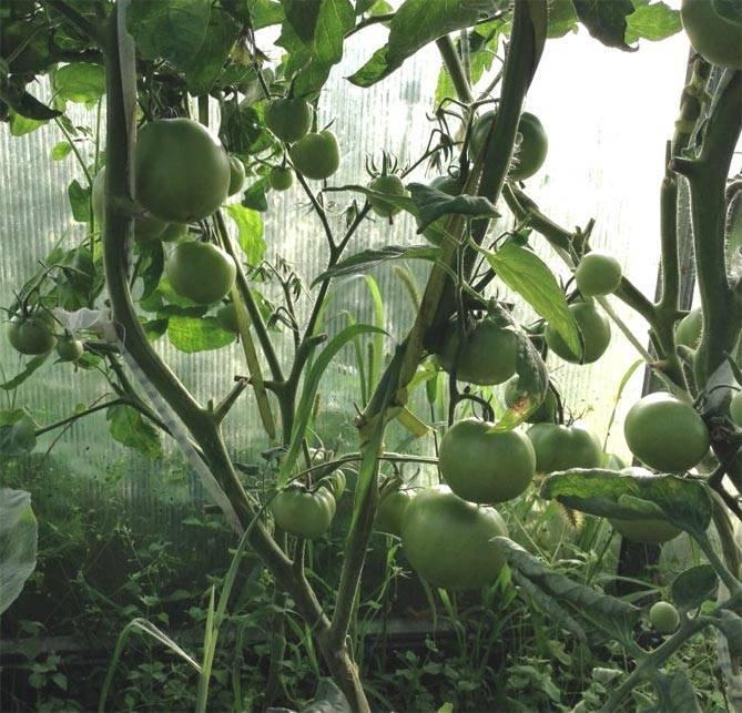 Томат спасская башня f1: отзывы, описание, урожайность - общая информация - 2020