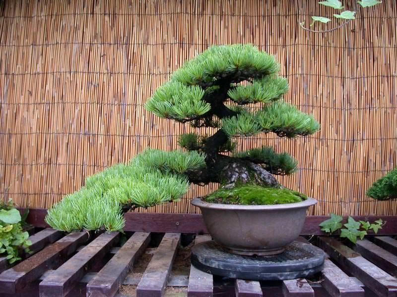Чем интересна пихта в вашем саду и как использовать её потенциал в оформлении по максимуму?