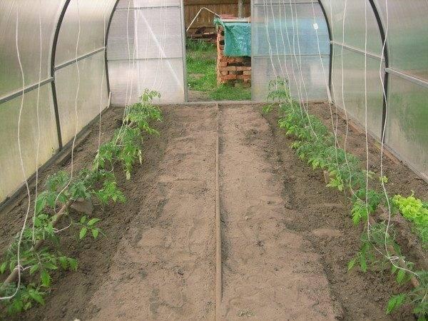 Высадка рассады помидор в теплицу самостоятельно - подробная пошаговая инструкция!