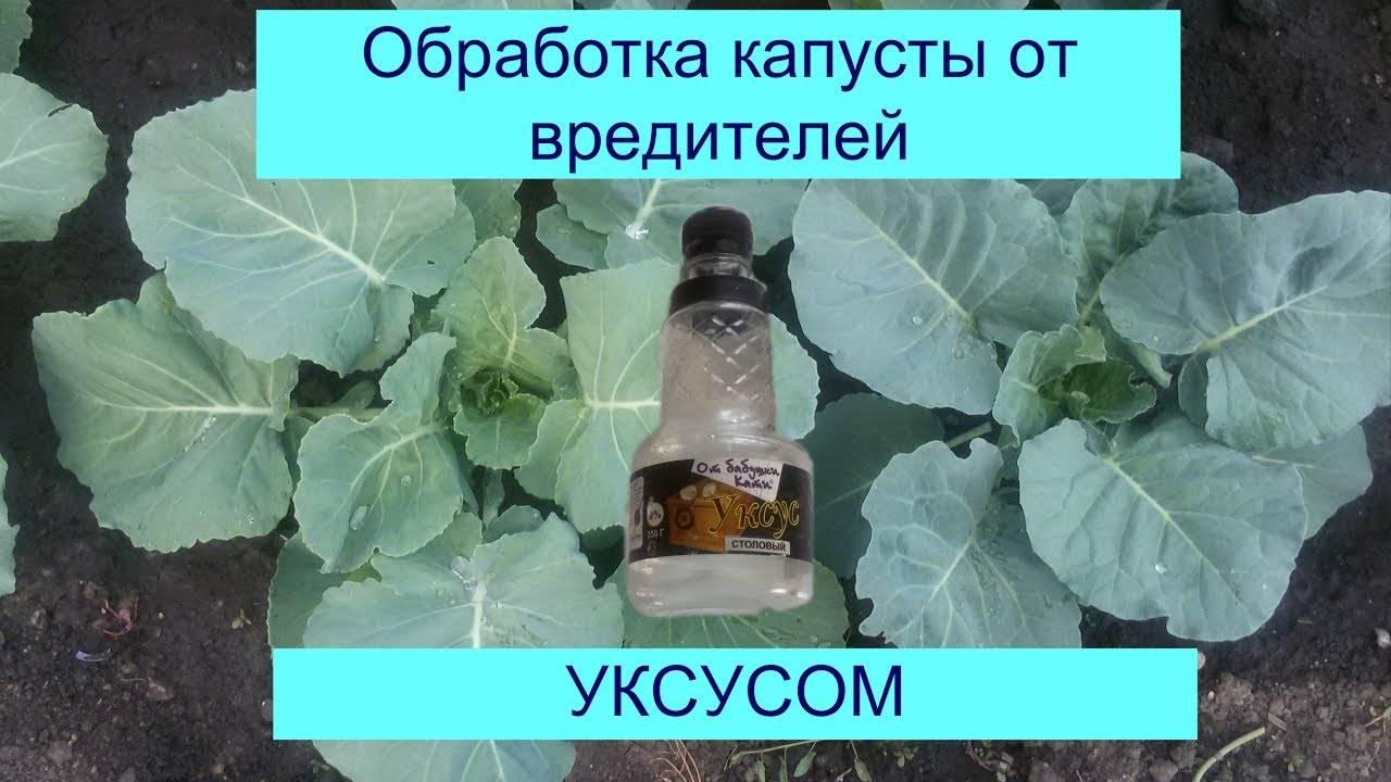 Способы обработки и подкормки рассады нашатырным спиртом