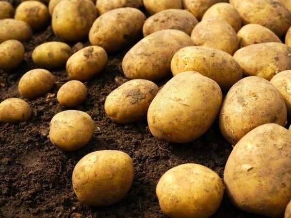 Картофель ривьера: прекрасные вкусовые качества и длительное хранение