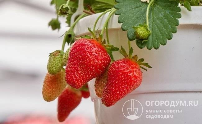 Сорт клубники альба: агротехника, характеристика и описание ягод