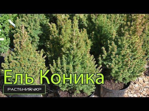 Ель пицея глаука коника (picea glauca conica): фото, уход в домашних условиях, посадка, сизая елка дома в горшке