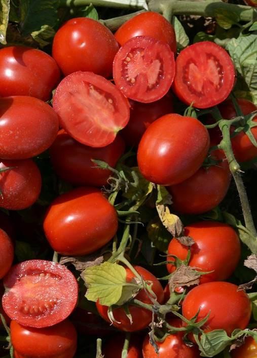 Выращивание томата снежный барс