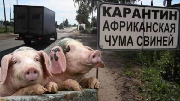 Африканская чума свиней – ачс до патогенеза |  ветеринарная служба владимирской области