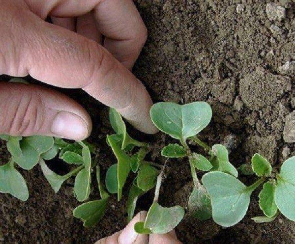 Посадка редьки семенами в открытый грунт: сроки, правила, уход в последующем