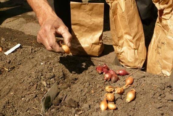 Благоприятные дни для посадки лука в зиму в 2020 году по лунному календарю