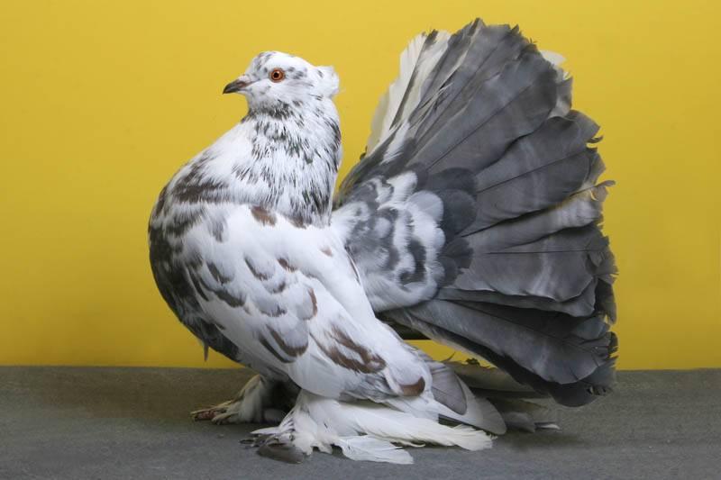 Породы голубей — содержание, разведение, характеристики популярных мясных и декоративных пород