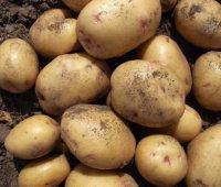 Сорта картофеля голландско-ирландской семеноводческой компании ipm potato