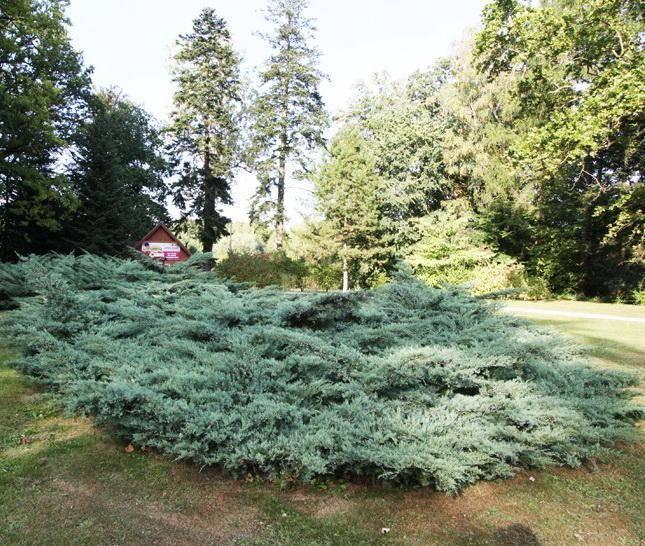 Можжевельник виргинский грей оул: описание, фото в ландшафтном дизайне