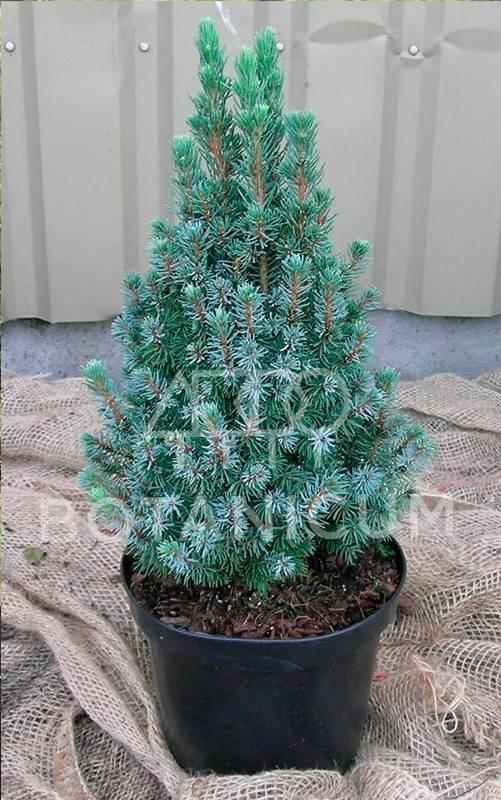 Ель канадская сандерс блю (picea glauca sanders blue): описание, фото, отзывы